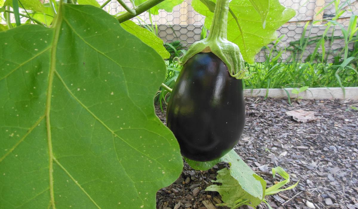 08-08-16-eggplant